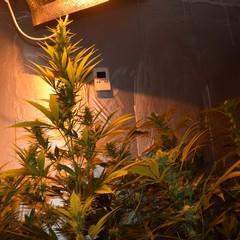 piantagione di marijuana scoperta dalla Polizia di Stato