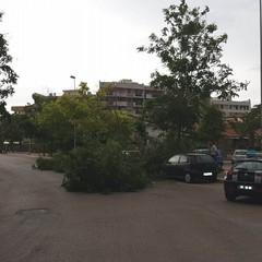 Per il vento forte cadono alberi su via Montegrappa e zona INPS