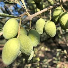 Andria olive avvizzite e campi a secco