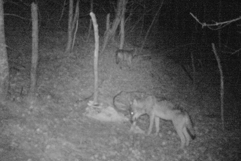 Avvistamento lupi