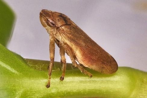 xylella fastidiosa o sputacchina
