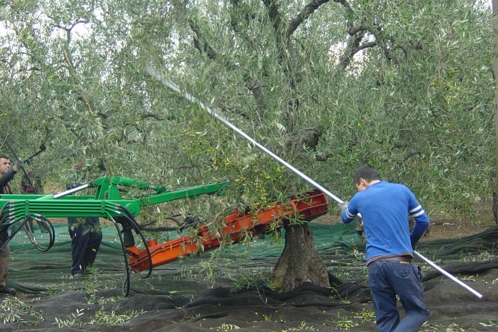 """Agricoltura, M5S: """"Necessario attuare il piano olivicolo"""""""