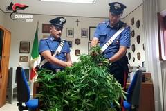 Piante di marijuana nell'orto di una casa di campagna