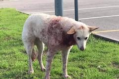 Trovato cane insanguinato in via Trani