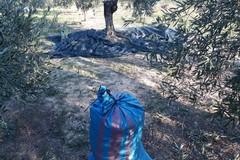 Ancora un furto di olive sventato dalle Guardie Campestri di Andria