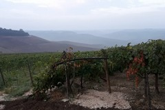Furti di uva ed olive nella notte: ronde di agricoltori ad Andria e nella Bat