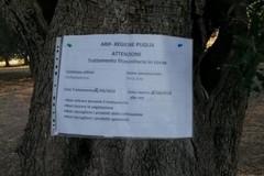 E' allarme per il ritrovamento di 13 ulivi infettati dalla xylella nella Piana ulivi monumentali