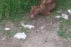 Cucciolo di pitbull abbandonato in via Gentile, nei pressi del tratto della Ferrotramviaria