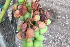 Afa e siccità: frutta scottata nei campi a causa delle elevate temperature