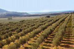 """""""Quale futuro per l'agricoltura pugliese"""": ad Andria un convegno sulla crisi olivicola"""