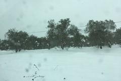 Maltempo, 5mila ettari di oliveti colpiti ad Andria