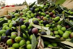 Maltempo: per l'olivicoltura pugliese, sale la conta dei danni