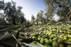 Alla vigilia della campagna olivicola, bottiglie di olio venduto a meno di 2 euro