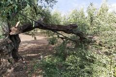 Caduta olive per il forte vento: rischio peggioramento meteo da martedì
