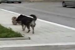 Cani randagi seminano il panico nella notte andriese