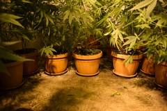 Aveva trasformato la sua cantina in una serra di marijuana: catturato all'alba dalla Polizia di Stato