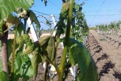 Puglia e politiche agricole: arrivano le accuse ad Emiliano di M5S e Coldiretti