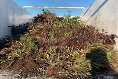 Xylella nella Bat, distrutte le 7500 piante infette nel vivaio di Canosa di Puglia