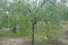 Xylella fastidiosa, 841mila euro di sanzioni in Puglia