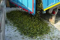 """Furti di olive, CIA Puglia: """"Gli agricoltori non sanno più come difendersi"""""""