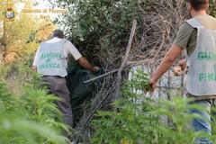 Scoperta una piantagione di canapa indiana. Arrestati tre andriesi
