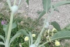 Xylella, gli olivicoltori lanciano l'allarme. FareAmbiente: «Attenzione a non sottovalutarla»
