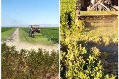 Crollo dei consumi: al macero nei campi le piante di sedano