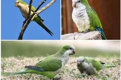 """Conseguenze devastanti per l'avifauna locale a causa dei pappagalli """"parrocchetti monaci"""""""
