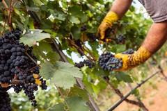 Vino: insuccesso per la vendemmia verde e la distillazione di crisi