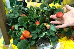 Agricoltura, il cambio di clima porta anticipatamente nei mercati fragole ed asparagi