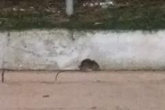 Topo avvistato a passeggio nella villa comunale di Andria