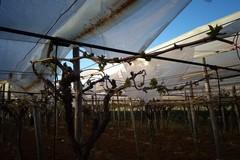 Il forte vento e la grandine danneggiano alberi da frutto e coperture dei vigneti