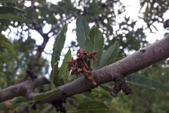 Il maltempo e le gelate causano danni agli alberi da frutto ed ai vigneti