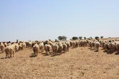 Lupi: numerose incursioni nelle stalle nelle ultime settimane