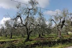 Olio d'oliva, cala l'export italiano ed aumenta l'import dalla Spagna