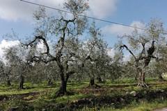 """Idea, Losito: """"Ulivi abbandonati a Papparicotta, una bomba ecologica"""""""