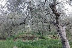 Olio d'oliva: ristoro per le gelate 2018. Comuni accelerino le istruttorie ed i pagamenti