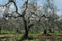 Al via i monitoraggi per la xylella nelle province Bat e Foggia