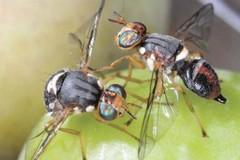 Monitoraggio della mosca dell'olivo, bollettino fitosanitario del 18 ottobre