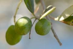 La scarsa produzione di olio d'oliva mette in difficoltà anche il comparto della sansa