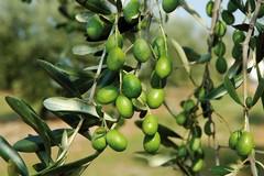 """""""Camminata tra gli olivi"""": conferenza stampa il 12 ottobre azienda Spagnoletti Zeuli"""