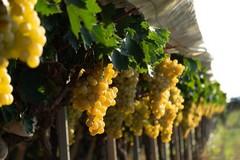 Al lavoro 1,3 milioni di persone grazie alla new economy del vino
