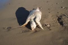 Tartaruga marina senza vita sulla costa tra Barletta e Trani scoperta dall'ecologista andriese Montepulciano