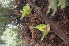 Il caldo porta nel nord barese ad una invasione di pappagalli che nelle campagne mangiano frutta e soprattutto mandorle
