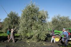 Olio di oliva in forte crescita in Puglia ma manca ancora una promozione coordinata della filiera