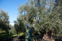 Puglia protagonista del primo concorso nazionale Turismo dell'Olio