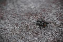 I rimedi naturali per liberarsi dalle mosche in casa