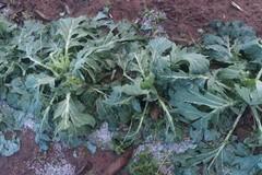 La tropicalizzazione del clima crea disastri per l'agricoltura pugliese