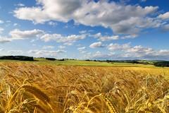 Trebbiati da malviventi decine e decine di ettari di grano nelle campagne di Andria, Minervino e Spinazzola