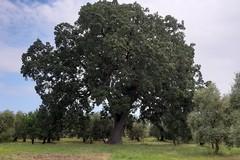Due querce di Andria inserite nell'elenco nazionale degli Alberi monumentali